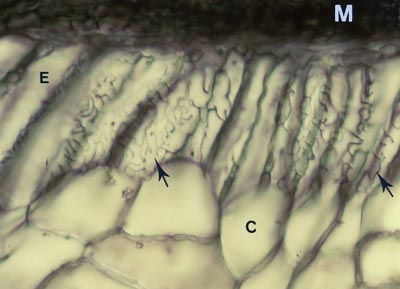 Longitudinal section of Abies ECM
