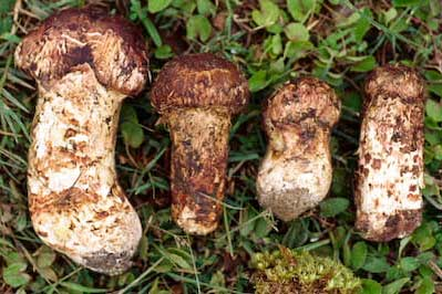 Tricholoma sp. Matsutake in Yunnan Province, China