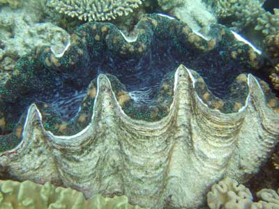 Giant Clam - Great Barrier Reef