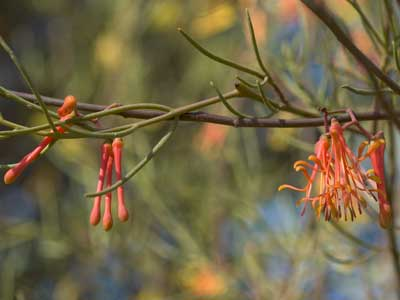 Amyema preissii - Mistletoe from WA