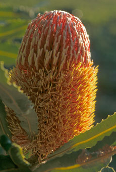 Prostrate Banksia