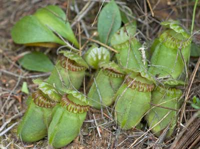 Cephalotus follicularis the WA pitcher plant
