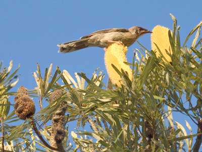 Honeyeater feeding on banksia flowers