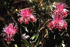 Isopogon (13KB)