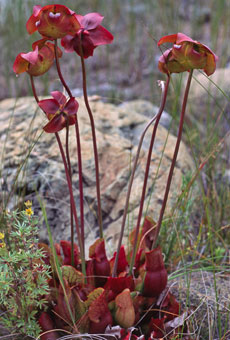 Sarracenia a pitcher plant