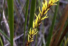 Sedges and rushes (9KB)