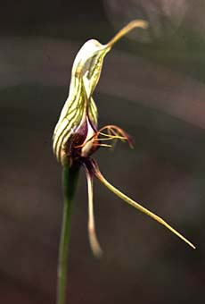 Bird Orchid (8KB)