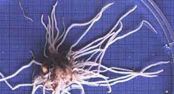 Coarse root system (16KB)