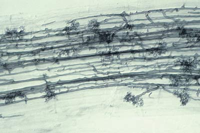Colony with linear hyphae